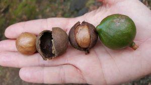 BlackWalnutCracker.com Macadamia nut cracking cracker